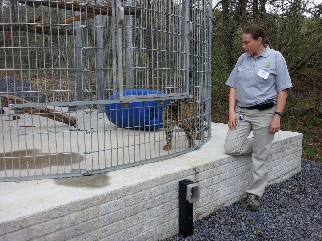 Clouded Leopard with Keeper