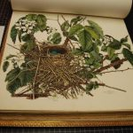 "Lithographic print from ""Illustrations of the Nests and Eggs of Birds of Ohio"""