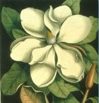 Magnolia from The Natural History of Carolina, Florida and the Bahama Islands