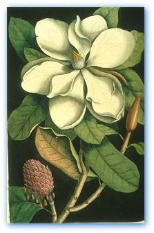 Magnolia from The Natural History of Carolina, Florida and the Bahama Islands