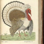 Crested Turkey Cock
