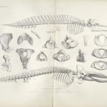 """Fossils from """"Ostéographie des cétacés vivants et fossiles"""""""