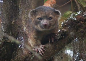 Olinguito by Mark Gurney