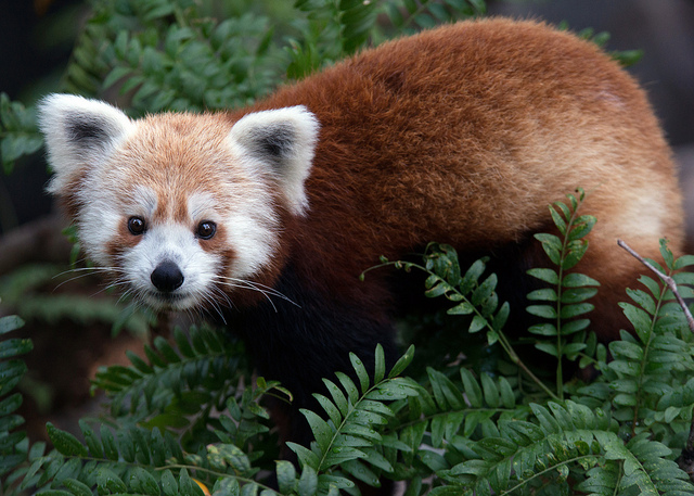 Rusty the Red Panda. Photo by Abby Wood, Smithsonian's National Zoo.