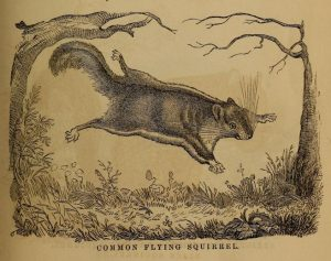 Uncommon Flying Squirrel from the Report on the Commissioner of Patents (1856)