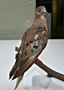 Martha, the last passenger pigeon.