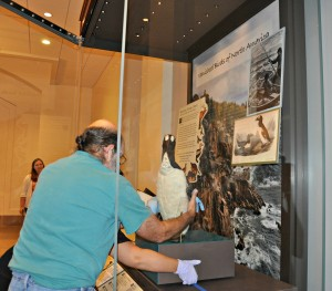 Positioning the Great Auk in the exhibit.