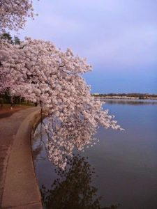 Cherry blossoms along the Tital Basin. Photo by Julia Blakely.