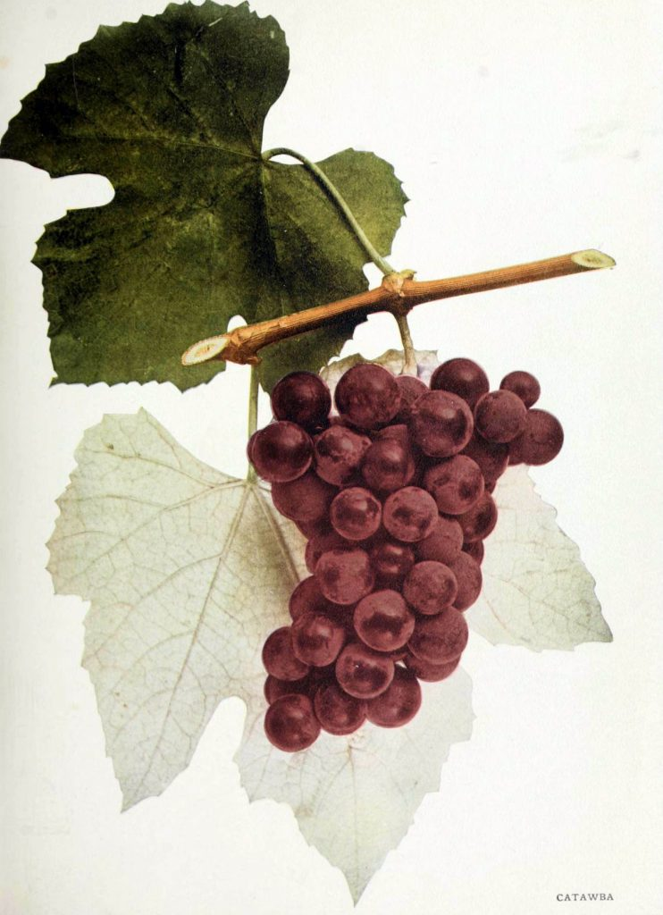 The Catawba Grape, illustration from The Grapes of New York by U.P. Hedrick (Albany, 1908; photo from the Biodiversity Heritage Library)