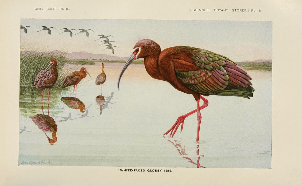 Illustration by Louis A. Fuertes from The Game Birds of California (1819). http://biodiversitylibrary.org/page/8991919.