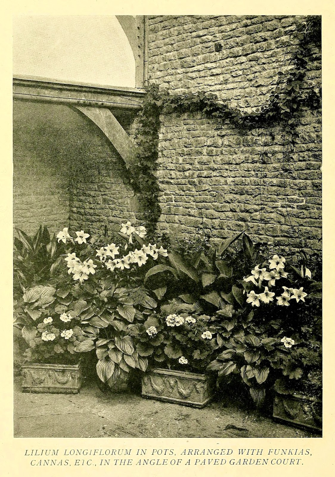 Photograph from Gertrude Jekyll's Lilies for English Gardens (1901). http://biodiversitylibrary.org/page/33478387.