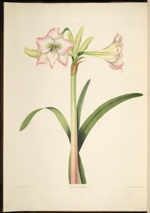 Amaryllis Solandriflora(Biodiversity Heritage Library, contributed by the Missouri Botanical Garden, Peter H. Raven Library)
