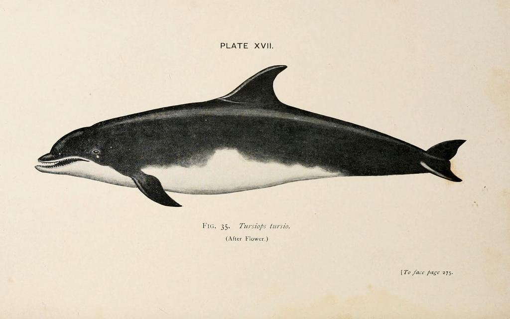 Common bottlenose dolphin (Tursiops truncatus). Beddard, Frank E. A Book of Whales (1900). http://biodiversitylibrary.org/page/1398413.