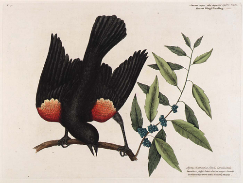The red Wing'd Starling. The broad leaved candle-berry Myrtle. This unbound illustration is in the Smithsonian American Art Museum Collection