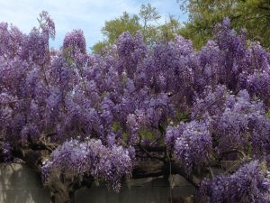 Not misused: this year's blooming of wisteria at the National Museum of American History (photo by Julia Blakely)