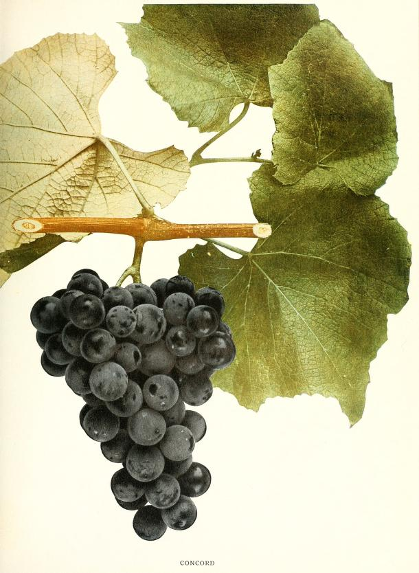 The grapes of New York, by U.P. Hedrick (Albany, 1908). Biodiversity Heritage Library digitized copy from the New York Botanical Garden, LuEsther T. Mertz Library