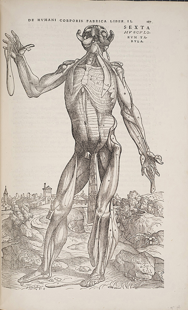Standing figure from De humani corporis fabrica, 1543.