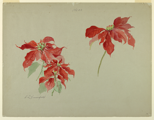 Studies of Poinsettias, Sophia L. Crownfield, drawing, early 20th century (Cooper Hewitt, Smithsonian Design Museum Collection; gift of Starling W. Childs and Ward Cheney)
