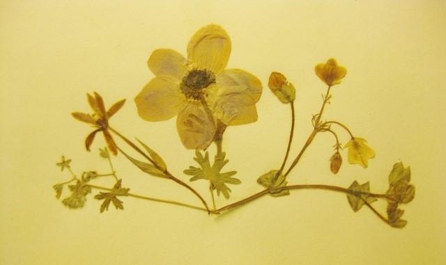 Klassiki Anthodesmi-anemone
