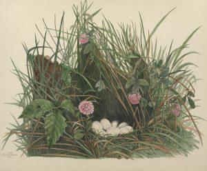 Quail nest and eggs, plate XVIII