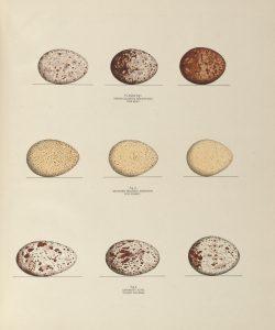 Eggs of the fish hawk, wild turkey, and turkey buzzard, plate XXXIX