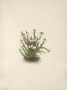 Rocky Mountain cassiope Cassiope mertensiana