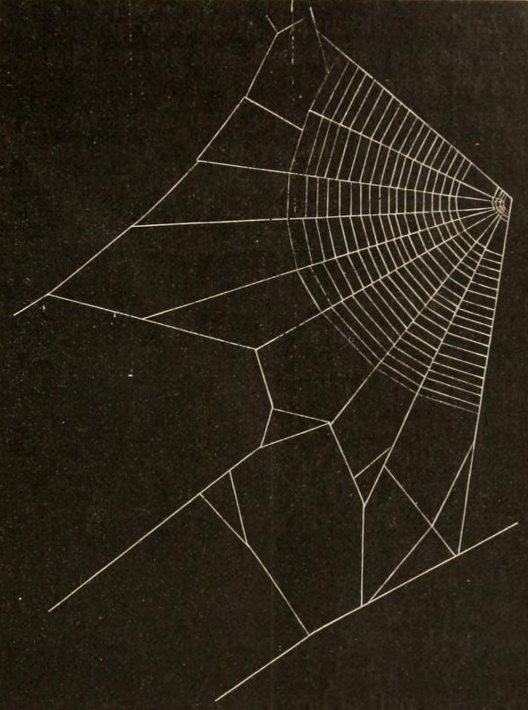"""Fig. 143. Section of foundation lines and orb of the Orchard spider"" from American Spiders and Their Spinningwork by Henry McCook (1889)."