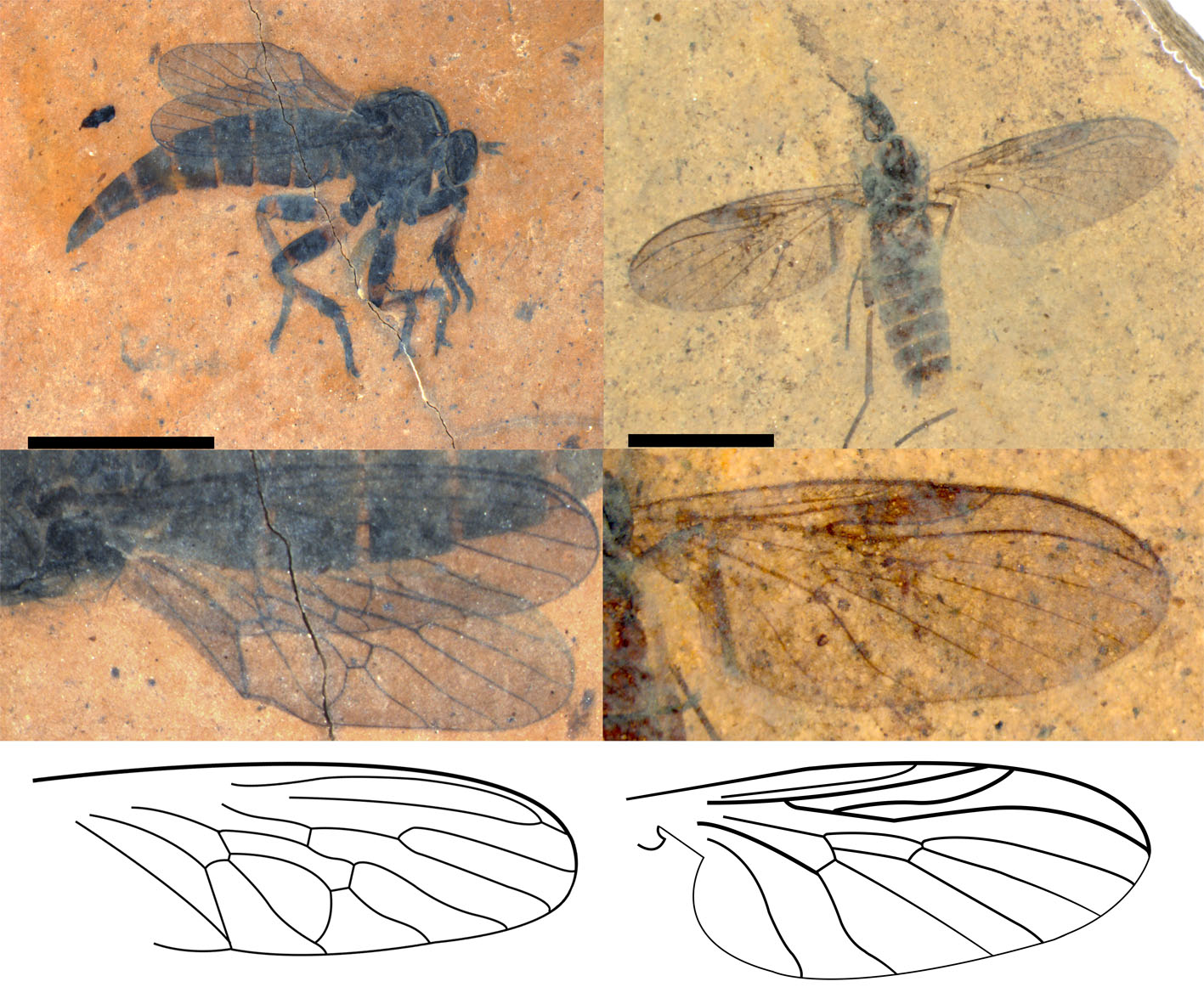 Smithsonian Scientists Describe New Fossil Fly Species – Smithsonian Libraries / Unbound