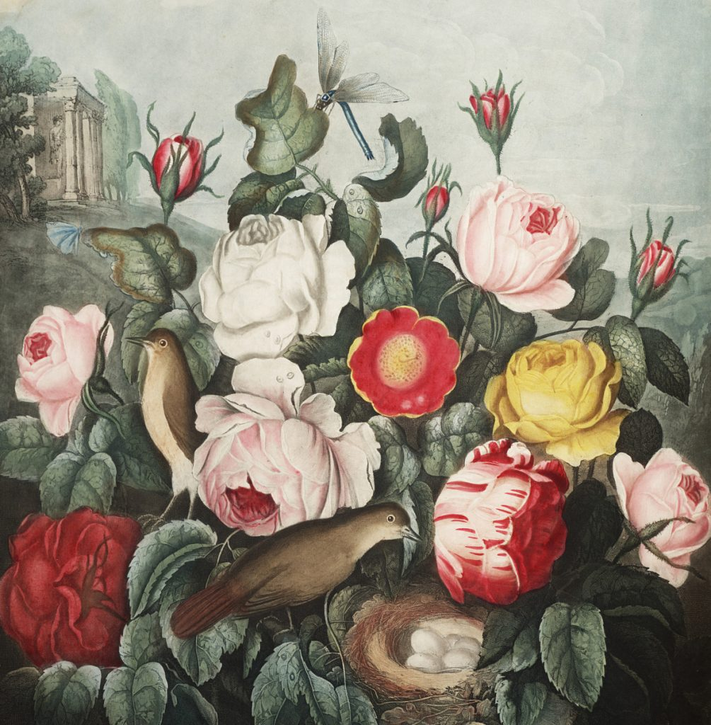 Book illustration of various pink, white and yellow roses with birds and nest.