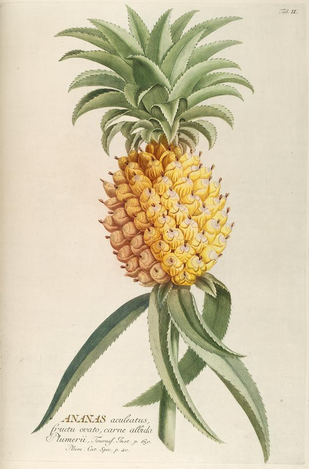 18th century color illustration of pineapple with leaves.