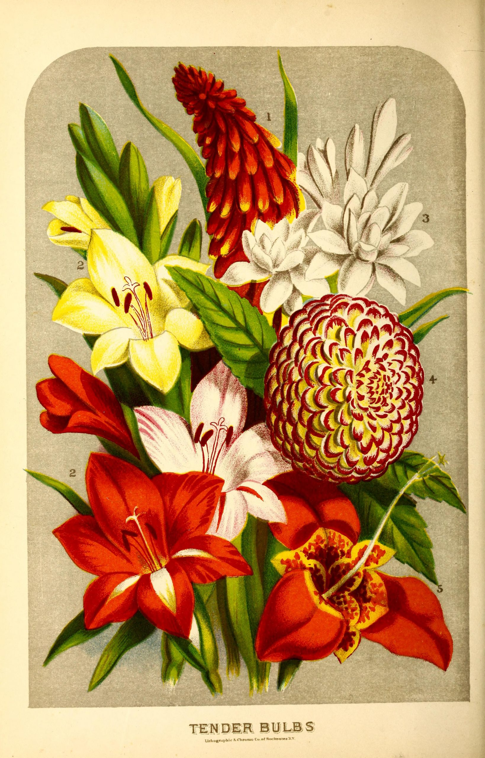 Flowers including Tender Bulbs: Tritoma uvaria, Gladioli, Tuberose, Dahlia, and Tigridia