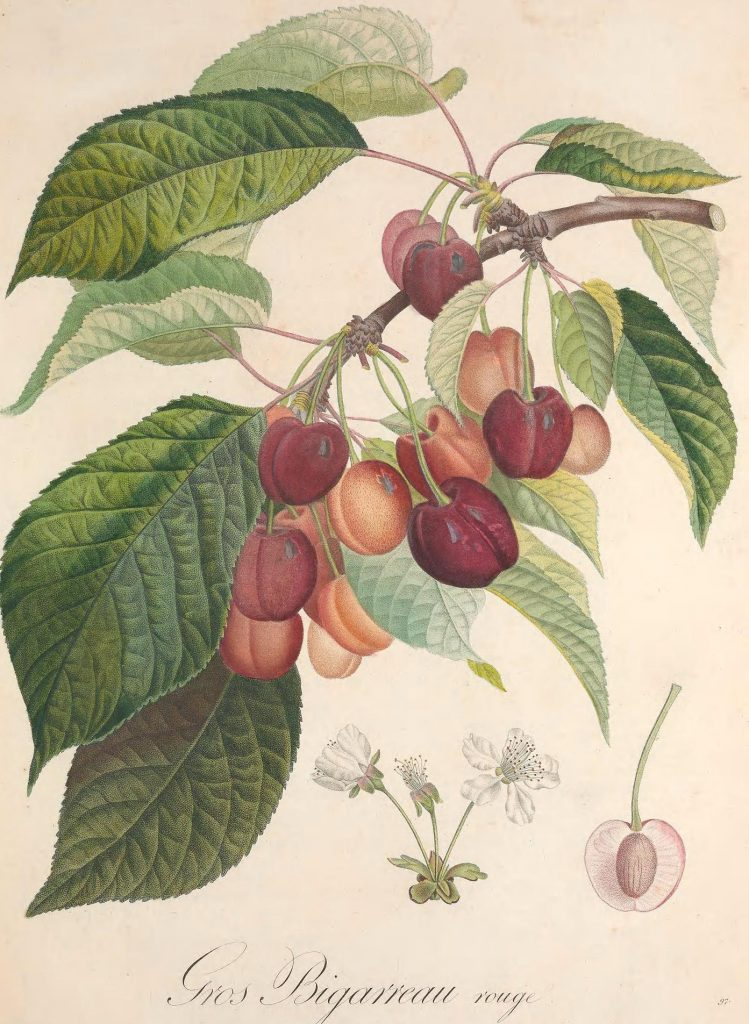 Book illustration of cherries.