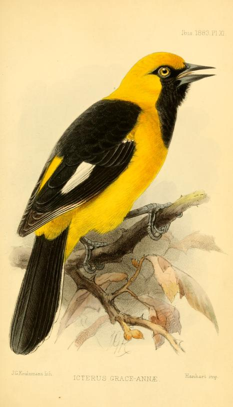 Illustration of bird with yellow body and black wings and tail.